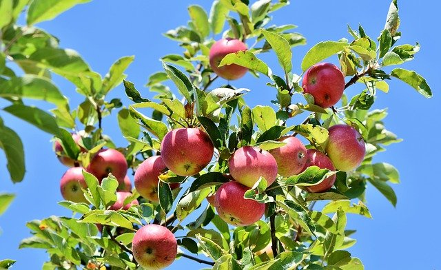 Mogna äpplen på ett äppelträd.